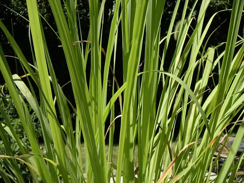 lemongrass growing