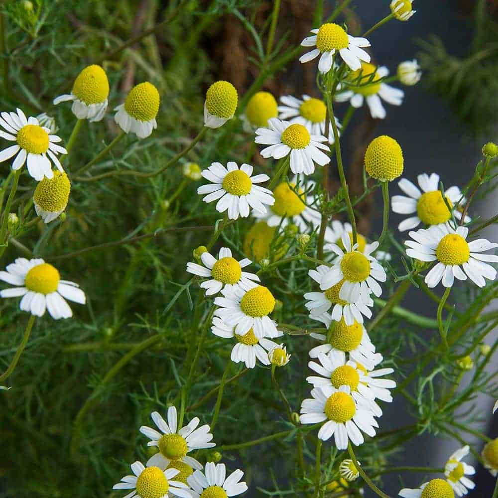 German Chamomile is Matricaria recutita and is considered fake Chamomile
