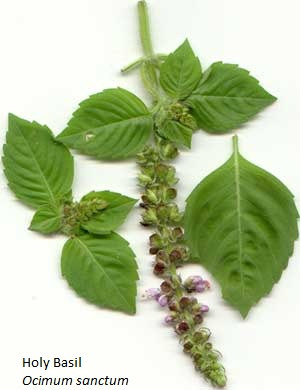 Holy Basil; captioned